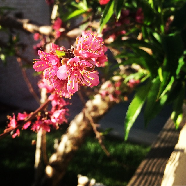 peach blossoms | thatwasthenthisiswow.com